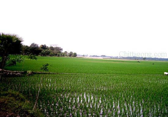 Chittagong Paddy Field
